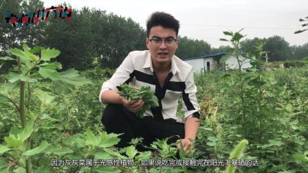 这种野菜农村很常见, 城里没见过, 却不知道是个宝