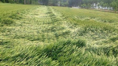 """小麦发芽儿了, 但主产区""""三夏""""还有8次降水! 倒伏小麦咋机收?"""