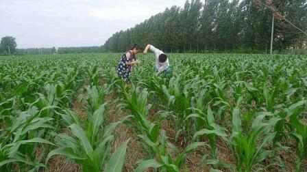 玉米追肥技巧, 学会了, 玉米高产不是梦!
