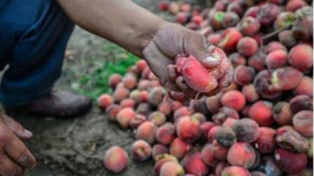 在农村, 这种水果烂在树上卖不出去, 城里人却说卖的贵, 不愿消费