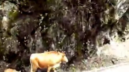 神农架的牛和猪的自由生活