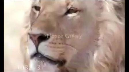 狮子PK老虎2