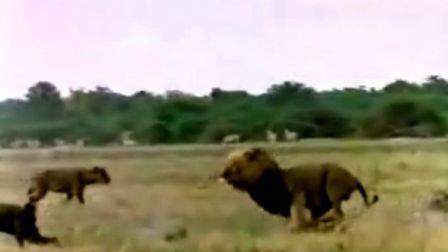 狮子PK非洲鬣狗