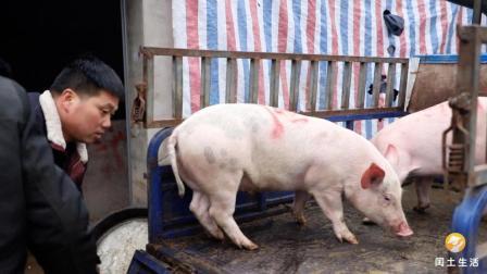 农村小伙放弃北上广优越工作, 回家养猪, 如何年赚20万? 一起看看