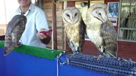 3只猫头鹰看到放音乐的手机, 就开始随着节奏摇摆