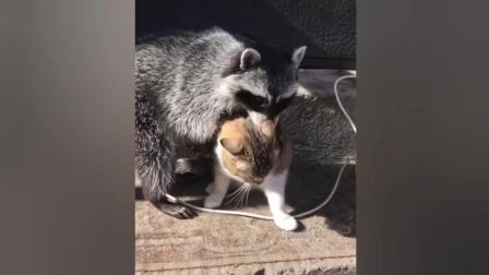 干脆面君想跟猫咪交朋友, 结果却挨打了