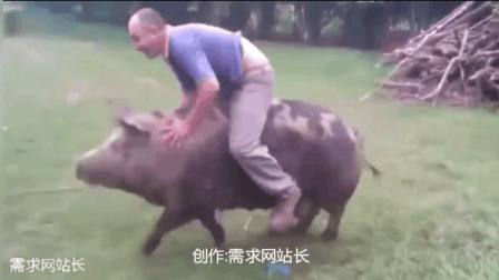 骑猪大赛排行榜 骑猪比赛 美女骑猪