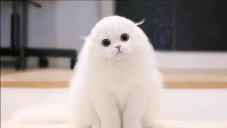 我就想知道这是什么品种的猫, 怎么洗个澡就变成海豹了