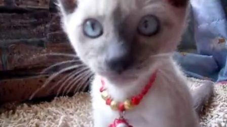 小小暹罗1个半月大超级萌猫
