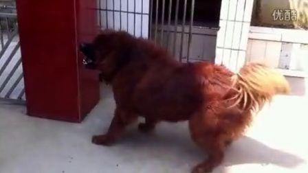 藏獒衮衮,一岁半的藏獒