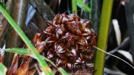 这是什么水果? 生在沼泽地被吃的濒临灭绝, 中国吃货: 我们吃的?