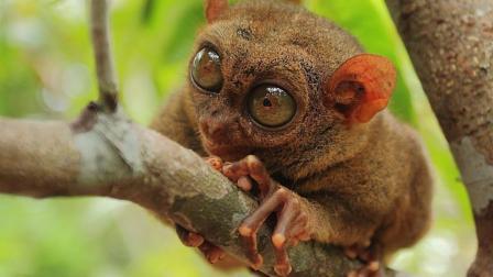 世界上最小的灵长动物, 像树蛙的猴子, 身长仅约11厘米