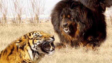 """世界最大藏獒""""虎面狮头""""! 500多斤重, 狮子在面前就是只小猫"""