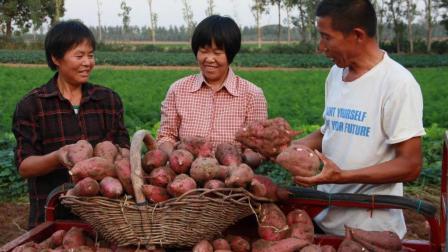 红薯高产要控旺, 控旺时能不能加磷酸二氢钾? 农民: 不敢加