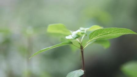 贵州农村用树叶做豆腐, 看上去成好有食欲, 夏天回家必吃的美食
