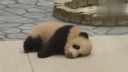 大熊猫宝宝浑身绵软无力 走路跌跌撞撞像喝醉酒一样