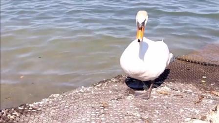 原来刚出生的小天鹅长这样, 网友直呼, 难道被称为丑小鸭