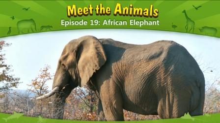 Little Fox小狐狸英语动画  认识动物19  非洲象  趣味英文学习