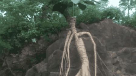 """男子上山砍材时发现悬崖上""""千年老参"""", 凑近细看后让人难以想象"""