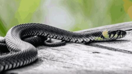 在农村蛇进门, 为什么老人总说打不得? 其实老人说的不是没有道理