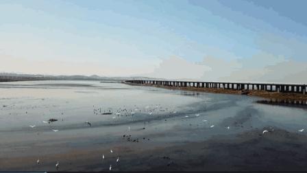 航拍《金州西海白鹭》