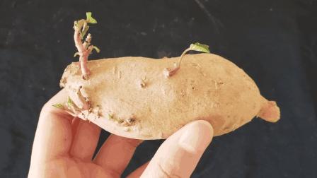 红薯发芽到底还能吃吗, 先别着急扔掉, 听听专家怎么说