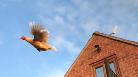哈哈哈哈鸡真的会飞!鸡:呵呵