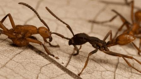 为什么说在野外遇到行军蚁, 要赶紧逃跑?