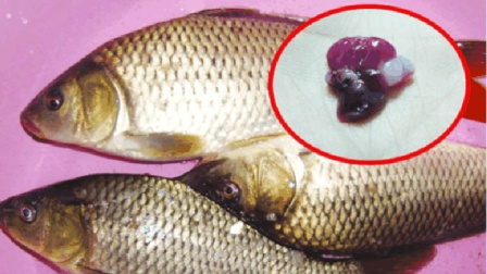 鱼身上此物最脏, 有成千上万的寄生虫, 很多人竟傻傻把它当做宝贝