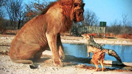 世界上最胆大的动物 叫嚣狮子吓走鲨鱼
