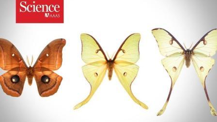 为什么蚕蛾因翅膀形状的不同,能更轻易的夺过蝙蝠的捕食?