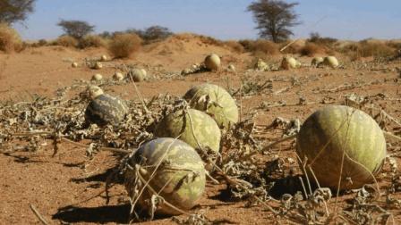 导游提醒: 沙漠里的西瓜千万别摘, 有游客不听, 刚拿起就后悔了