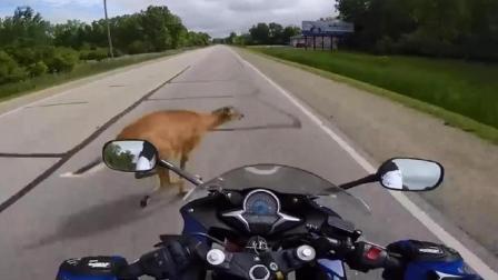 外国小哥高速公路骑摩托车, 可是没想到下一秒路边冲出一头小鹿!