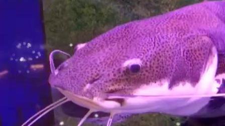 招财猫, 却是一条鱼。