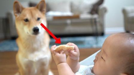 柴犬会偷吃小孩的零食吃吗? (结局温馨)