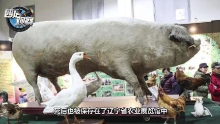 一头猪养一辈子不杀, 到底能长多大?
