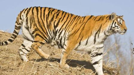 名副其实的森林之王, 再厉害的野猪遇到老虎也只能是一命呜呼