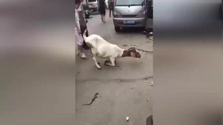 待宰的山羊为保腹中幼崽 当街跪下屠夫让人心酸