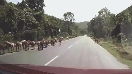 记录仪下的那些瞬间, 动物和轿车的碰撞, 看着都心疼