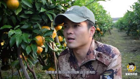 沃柑开始上市, 各种水果批发商纷纷来订购, 1600棵沃柑给45万!