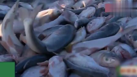 舌尖上的中国! 东北鱼仓: 查干湖冬捕, 一网上来几万斤的大鱼,
