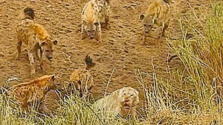 落单狮子被鬣狗围在角落欺负, 两头狮子远处赶来, 鬣狗这下慌了