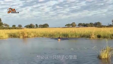 两只狮子鼓起勇气过河, 还是被鳄鱼有机可乘, 差点丧身鳄鱼口