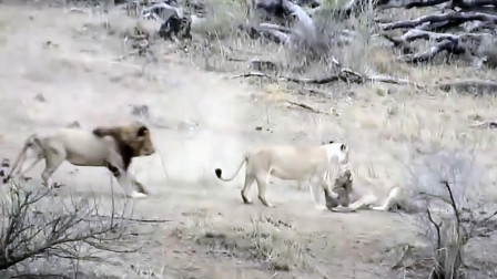 两只母狮捕抓疣猪, 一旁雄狮过来抢食, 结果坏大事了