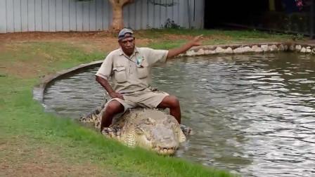 这是我见过最肥的鳄鱼, 一口一只鸡毛都不用拔!