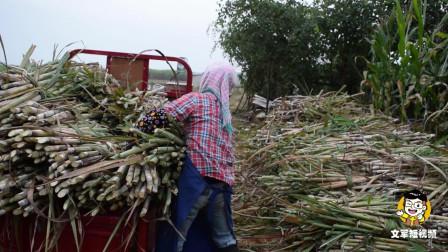 留一批42号甘蔗种子, 今年打算全部种这个品种, 大家觉得怎么样?
