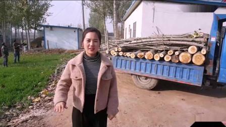 河南农村姑娘家卖树, 一颗十年的大杨树, 看看能卖多少钱?