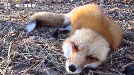 这个小动物也太可爱了! 现在你知道它是怎么叫了吧!