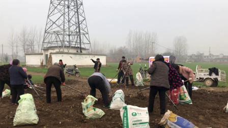 安徽阜阳: 实拍皖北农村抢收药材, 老板招了几十个工人, 一天40块