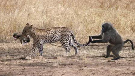 猴子看到孩子被豹子抓走了, 意想不到的事情发生了, 镜头拍下全程!
